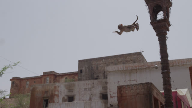 rhesus macaque (macaca mulatta) leaps into pool from lamp post, jaipur, india - macaque stock videos and b-roll footage