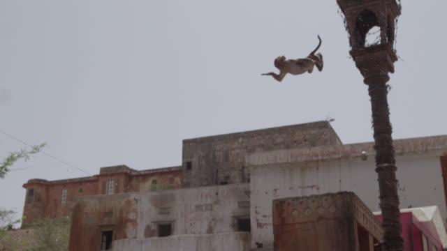 Rhesus macaque (Macaca mulatta) leaps into pool from lamp post, Jaipur, India