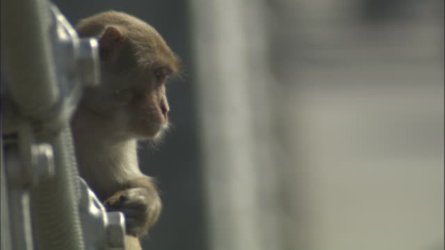 rhesus macaque looks down from bridge, rishikesh, india available in hd. - macaque stock videos and b-roll footage