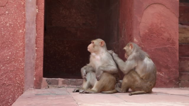 MS Rhesus Macaque monkeys grooming at Agra Fort / Agra, Uttar Pradesh, India