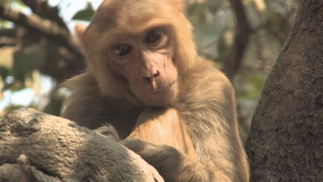 cu, rhesus macaque (macaca mulatta) on tree, varanasi, uttar pradesh, india - primate stock videos & royalty-free footage