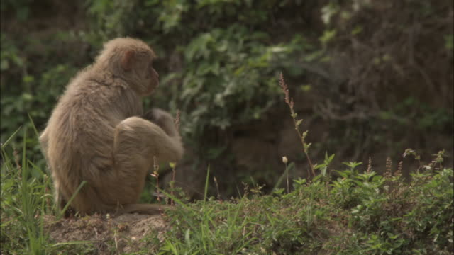 Rhesus macaque scratches then walks off, Guptkashi, India Available in HD.