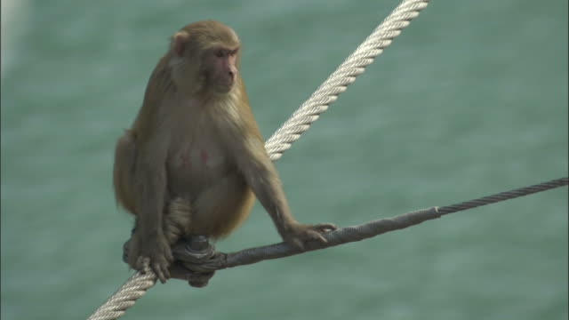 rhesus macaque sits on bridge cables then walks away, rishikesh, india available in hd. - macaque stock videos and b-roll footage