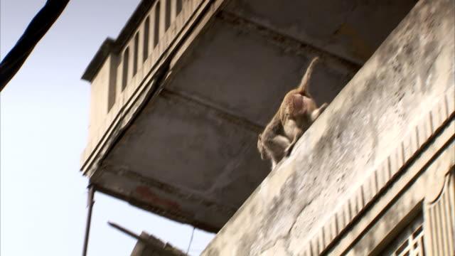 a rhesus macaque walks along a delhi rooftop. - delhi stock videos & royalty-free footage