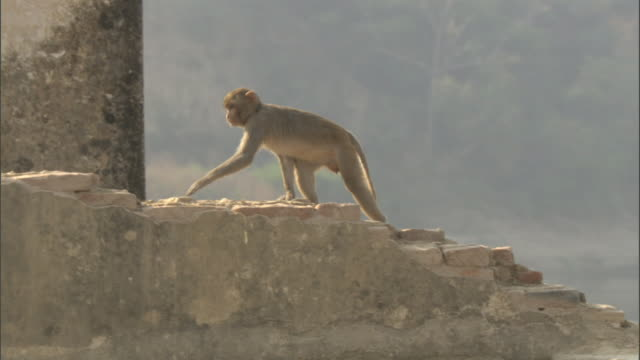 Rhesus macaque walks up steps formed by broken bricks, Bateshwar Available in HD.