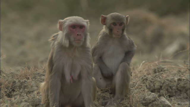 Rhesus macaques look at camera, India Available in HD.