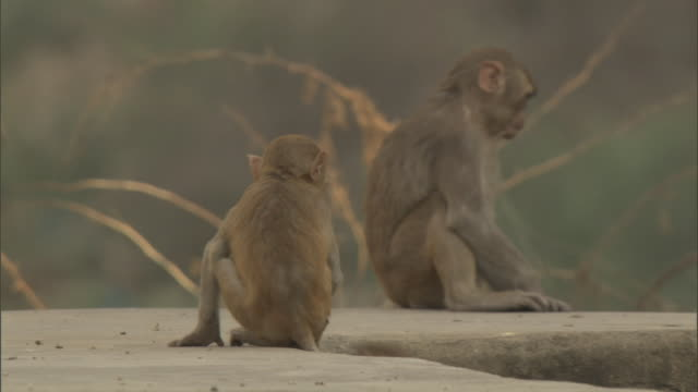 Rhesus macaques play fight on top of wall, Bateshwar Available in HD.