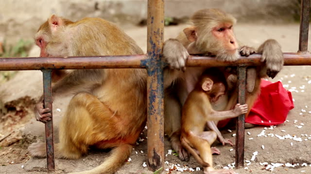 Rhesus monkey family