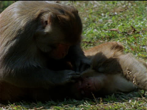 rhesus monkeys groom each other in a grass field in nepal. - other stock videos & royalty-free footage