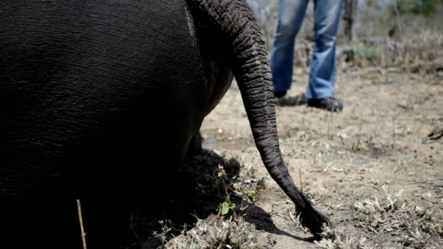 rhino and calf feeding in grass/ south africa - tail stock videos & royalty-free footage