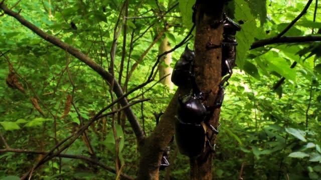 vídeos y material grabado en eventos de stock de rhino beetle climbing down a tree, gangwon province, south korea - dynastinae