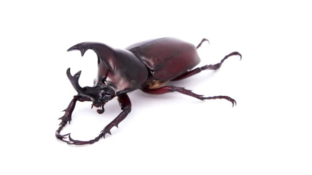 rhino beetle male on white background - beetle stock videos & royalty-free footage