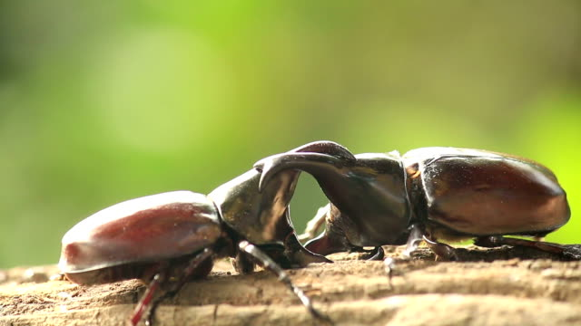 rhino beetle,fighting in nature - beetle stock videos & royalty-free footage