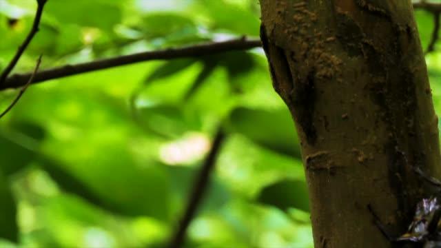 vídeos y material grabado en eventos de stock de rhino beetles fighting over tree sap, gangwon province, south korea - dynastinae