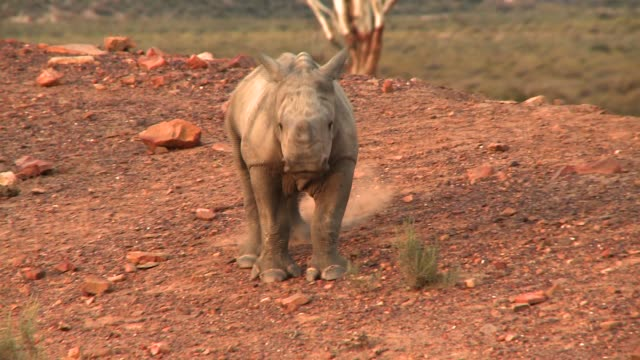 A rhino calf kicks up dust in its desert surroundings. Available in HD.