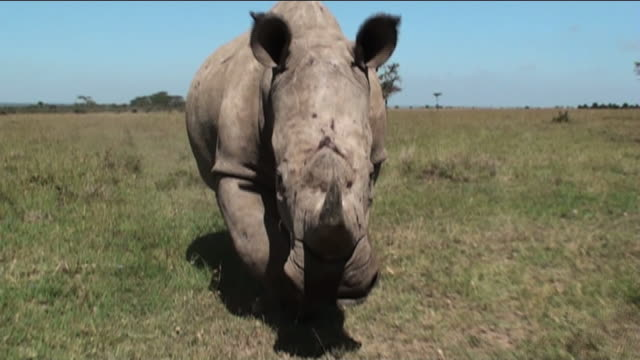 a rhino charges across the savanna. - rhinoceros stock videos & royalty-free footage