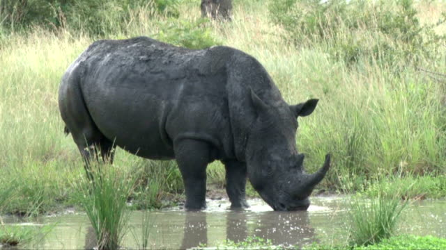 rhino drinking at waterhole/ south africa - provinz mpumalanga stock-videos und b-roll-filmmaterial