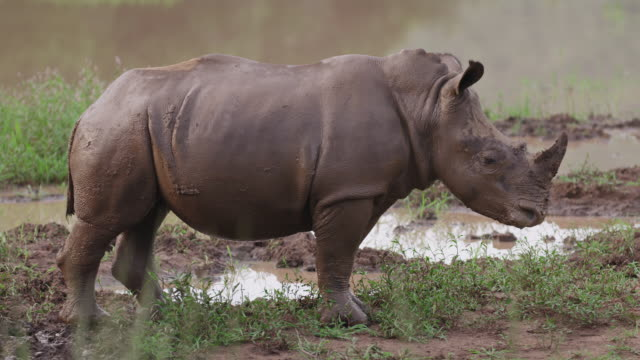 rhino mudbath - standing stock videos & royalty-free footage