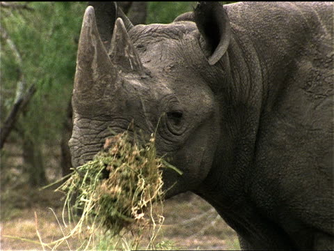 a rhino munches hay. - fieno video stock e b–roll