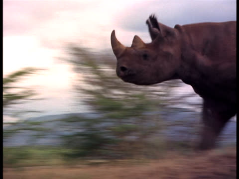 A rhino runs for shelter behind a tree.