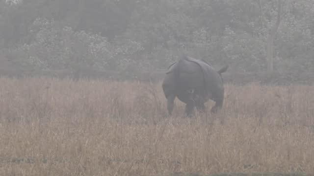 rhino straying from the kaziranga national park entered some residential premises at jhomkhala gaon, balitika gaon and senshuwa gaon and baghor sun... - 厚皮動物点の映像素材/bロール