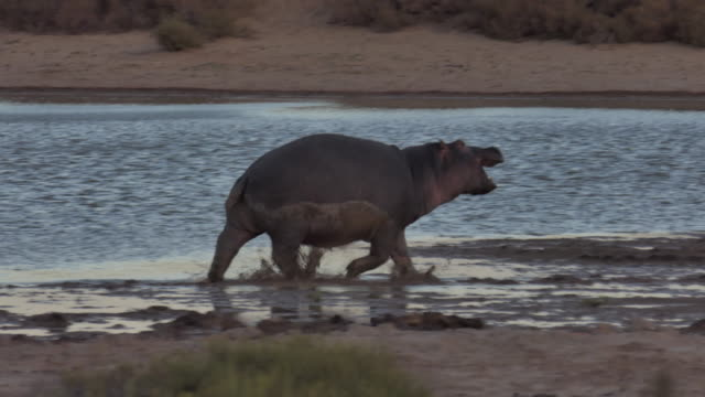 rhino trying to catch small bird by waterhole in south africa - rhinoceros stock videos & royalty-free footage