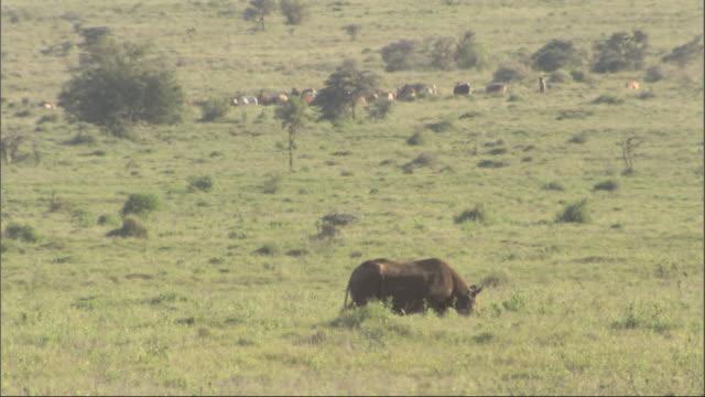 rhino walks past; herd of cattle in background, kenya, africa - herbivorous stock videos & royalty-free footage