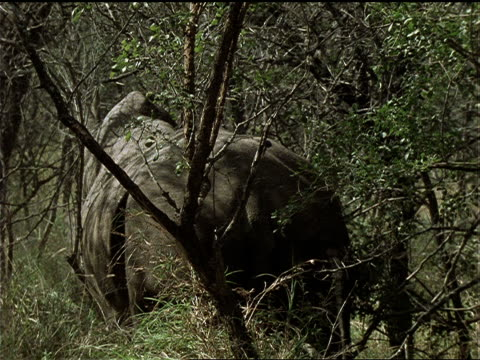 a rhinoceros ambles through a thicket and lies down. - natural land state stock videos & royalty-free footage