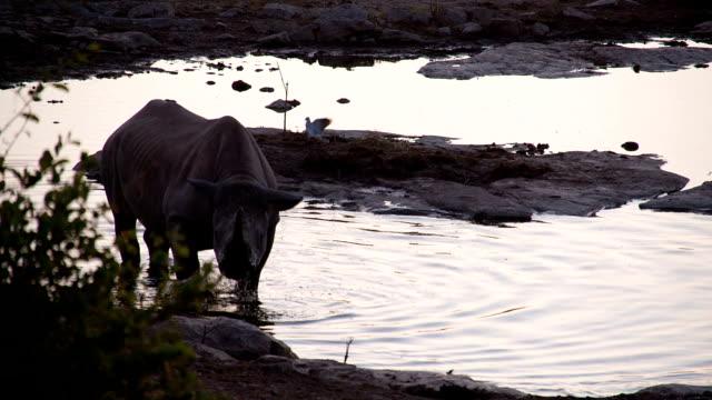 SLO MO Rhinoceros And Birds By The Waterhole