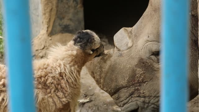 Rhinoceros and sheep living together inside a zoo in Dhaka Bangladesh A pair of rhinoceros was brought to Dhaka zoo from South Africa in 2011 The...