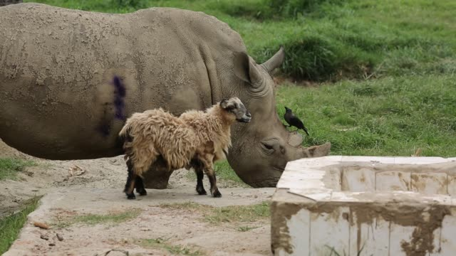 vídeos de stock, filmes e b-roll de rhinoceros and sheep living together inside a zoo in dhaka bangladesh a pair of rhinoceros was brought to dhaka zoo from south africa in 2011 the... - male friendship