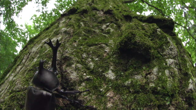 Rhinoceros Beetle climbing up the tree trunk covered with moss