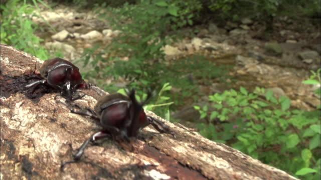 vídeos y material grabado en eventos de stock de rhinoceros beetle climbing up the tree trunk - dynastinae