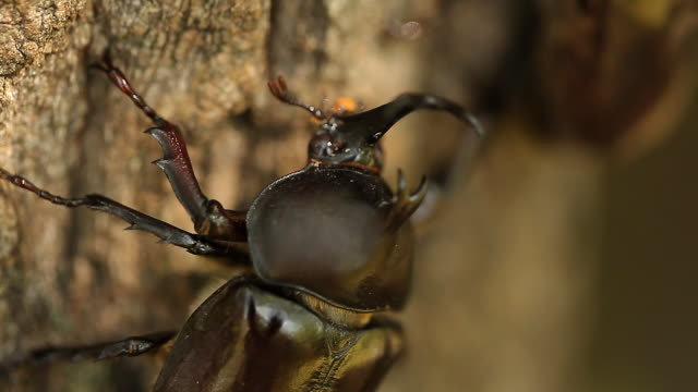 rhinoceros beetle (allomyrina dichotoma) climbing up the tree - horned stock videos & royalty-free footage