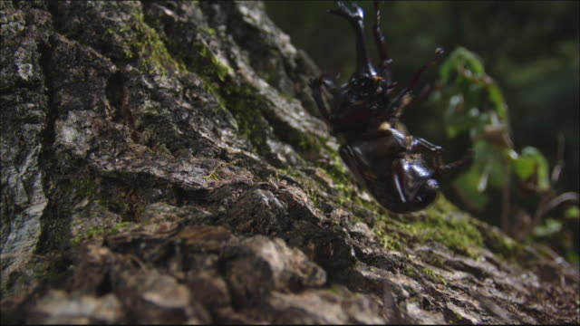 Rhinoceros Beetle fall from the tree and bounce