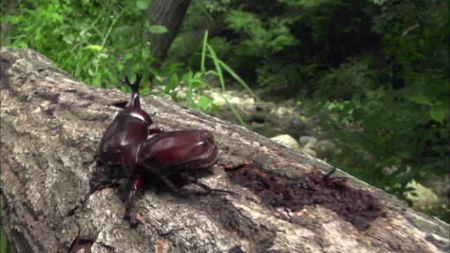 vídeos y material grabado en eventos de stock de rhinoceros beetle fighting for sap on the tree trunk - dynastinae
