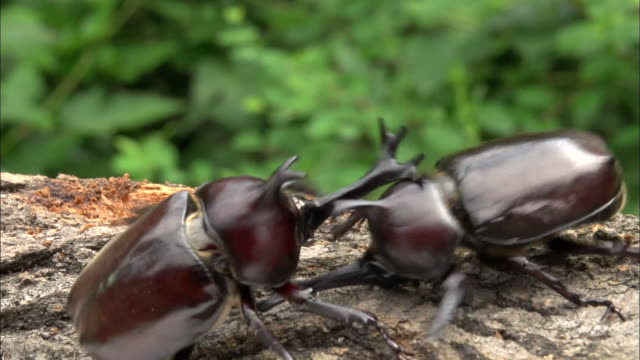 Rhinoceros Beetle fighting for sap on the tree trunk