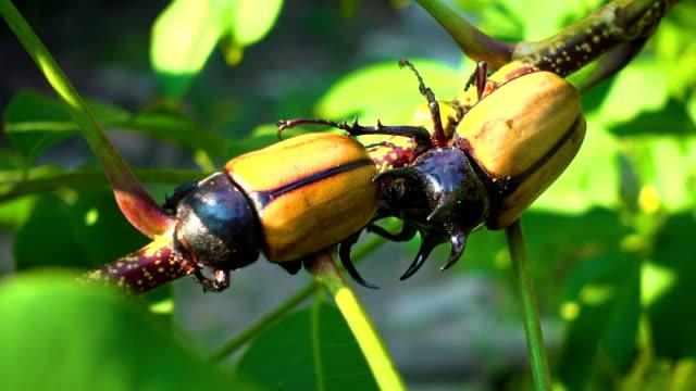 nashornkäfer fünf horn käfer sind paarung auf einem ast. - tierisches exoskelett stock-videos und b-roll-filmmaterial