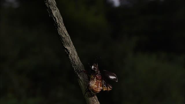 vídeos y material grabado en eventos de stock de rhinoceros beetle fly away from the tree branch - dynastinae