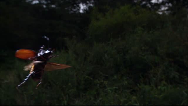 vídeos y material grabado en eventos de stock de rhinoceros beetle flying in a forest - dynastinae