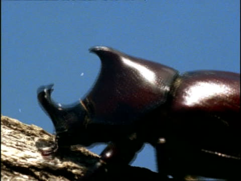 rhinoceros beetle, foraging on tree branch with rhino-like horns, england - foraging stock videos & royalty-free footage