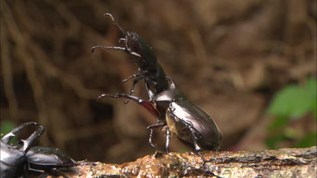 vídeos y material grabado en eventos de stock de rhinoceros beetle grab and attack stag beetle - dynastinae