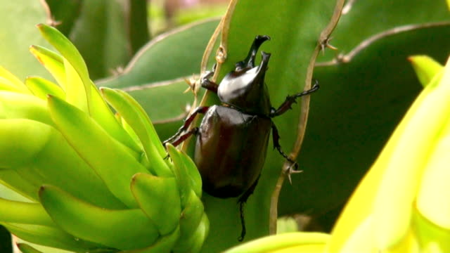 rhinoceros beetle in nature - horned stock videos & royalty-free footage