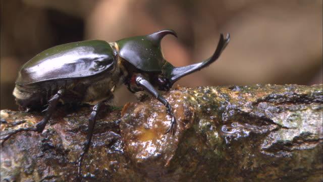 vídeos y material grabado en eventos de stock de rhinoceros beetle licking sap - dynastinae