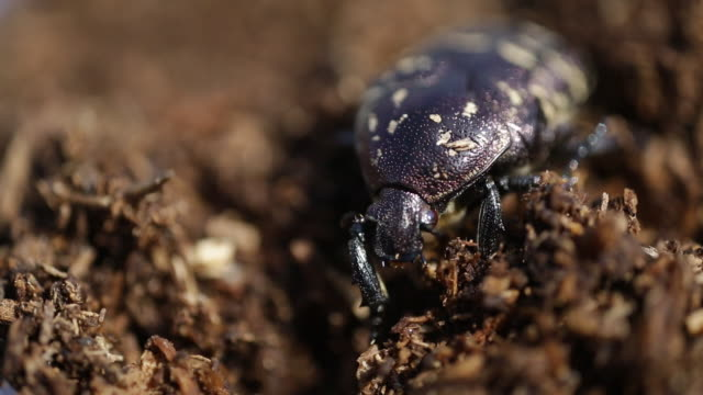 rhinoceros beetle (allomyrina dichotoma) on the soil surface - insect stock videos & royalty-free footage
