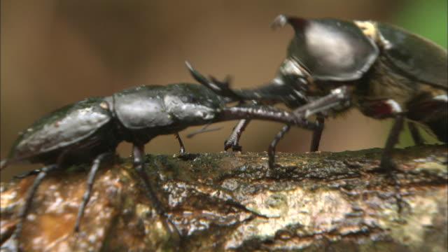 vídeos y material grabado en eventos de stock de rhinoceros beetle throw away stag beetle with its horn - dynastinae