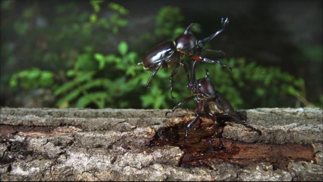 vídeos y material grabado en eventos de stock de rhinoceros beetle throw the other one away with its horn - dynastinae