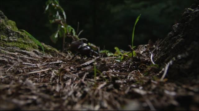 vídeos y material grabado en eventos de stock de rhinoceros beetle tumble down from the tree - dynastinae