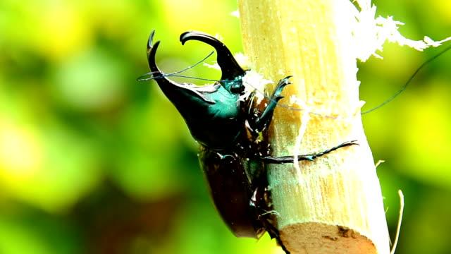 vídeos y material grabado en eventos de stock de escarabajo rinoceronte. - dynastinae