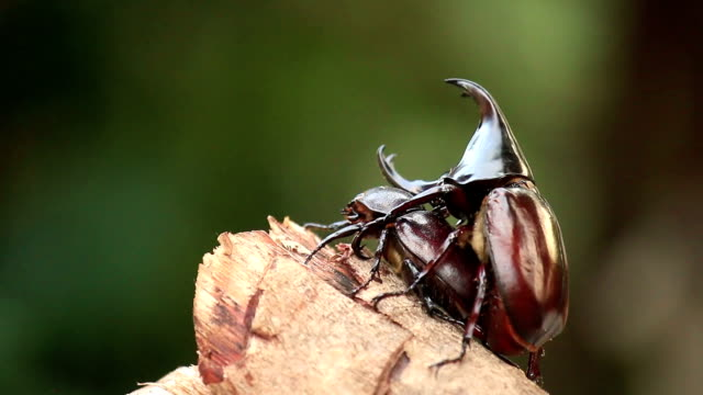 vídeos y material grabado en eventos de stock de rinoceronte beetles son de naturaleza de inserción - dynastinae